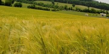 اجرای طرح جهش تولید گندم دیم درآذربایجانشرقی