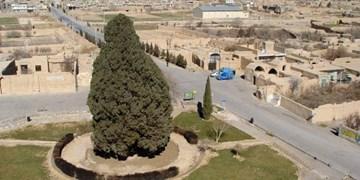 فارس من| سرو ابرکوه دومین موجود کهنسال جهان در انتظار جهانی شدن/مسئولان قول پیگیری دادند