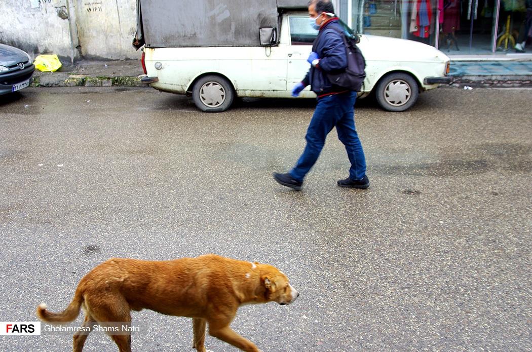 پرسه سگهای ولگرد در شهر چالوس