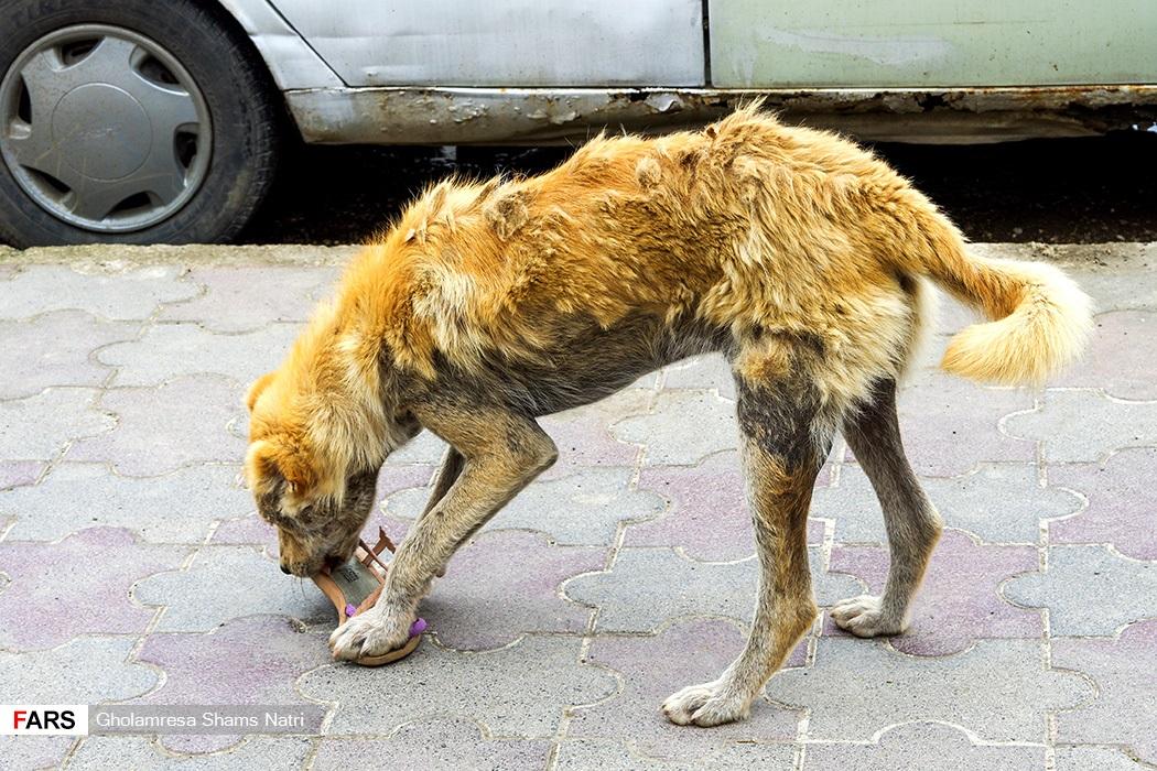 سگهای ولگرد براي سير نگهداشتن خود از به هر زباله ای در خیابان حمله ور شوند