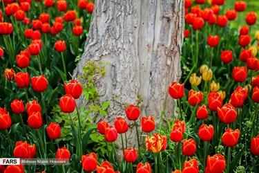 جشنواره گل لاله با بیش از ۱۲۰ هزار گل لاله در ۴۳ واریته در کنار گلهای بنفشه و درختچههای زینتی در زمینی به مساحت ۸ هزار مترمربع در منطقه شهر صنعتی اراک.