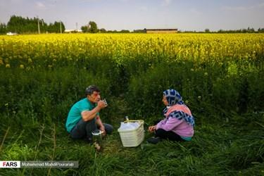 حضور و استراحت مسافرین در کنار مزارع کلزا در شهرستان کرج. کلزا به علت میزان روغن موجود در دانههایش از مهمترین گیاهان به شمار میآید.