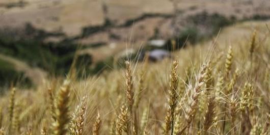 خرید تضمینی 17 هزار تن گندم در هرمزگان