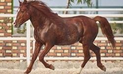 ایران به عنوان تنها منشأ اسب کاسپین در جهان به ثبت رسید