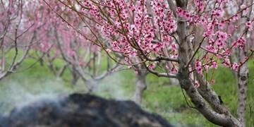 فیلم| سرمازدگی بهاره و گلایههای کشاورزان از بیمه