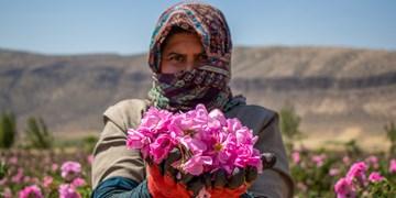 پیشبینی تولید ۶۵۰ تن گل محمدی در سمنان