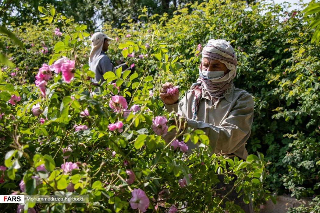 کارگران فصلی  در مزرعه میمند فارس به چیدن گل محمدی مشغول هستند.