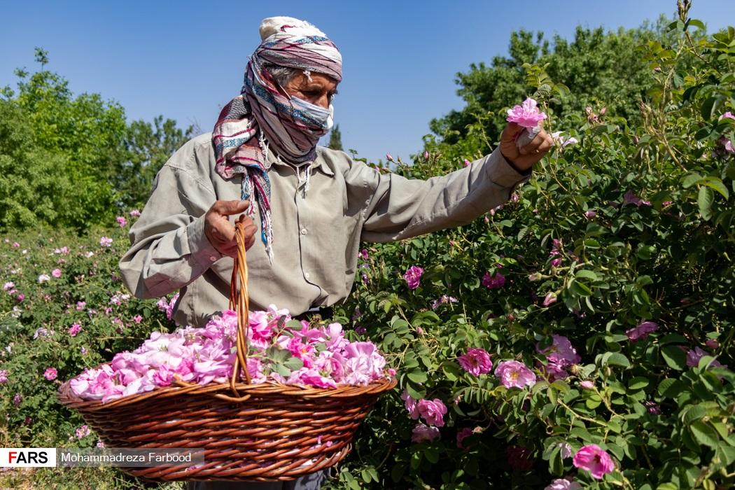 کارگر فصلی  در مزرعه میمند فارس به چیدن گل محمدی مشغول است.