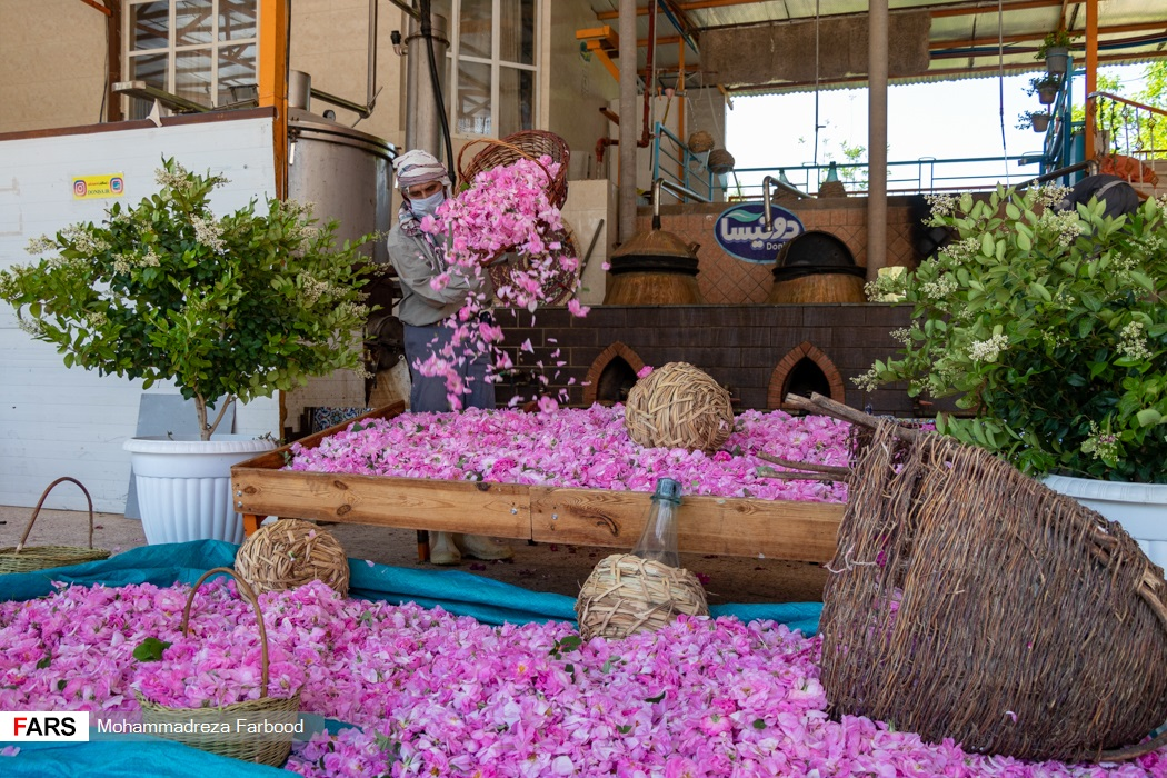 کارگر فصلی گل های محمدی چیده شده از مزرعه میمند فارس را خالی می کند.