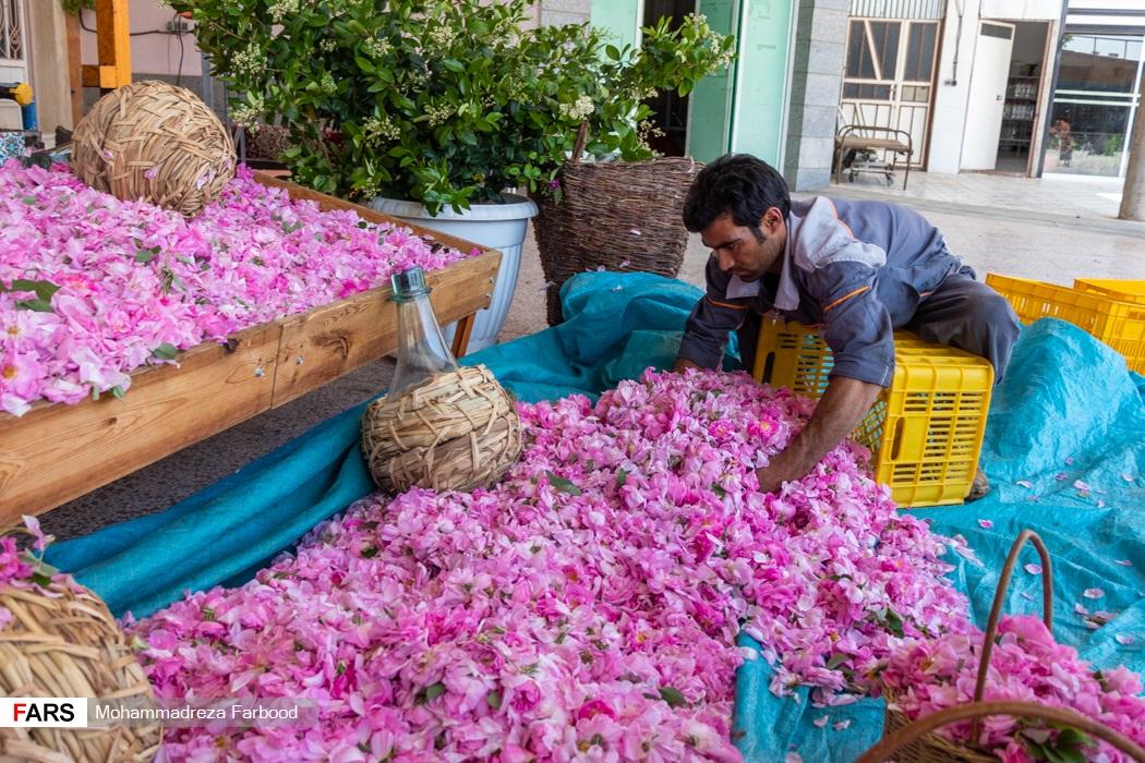 کارگر فصلی گل های محمدی چیده شده از مزرعه میمند فارس را برای وزن کشی درون سبد می ریزد.