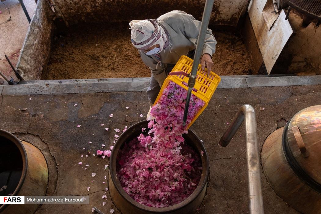 کارگر فصلی بعد از وزن کشی گل های محمدی، آنها را درون دیگ مخصوص برای تبدیل به گلاب می ریزد.