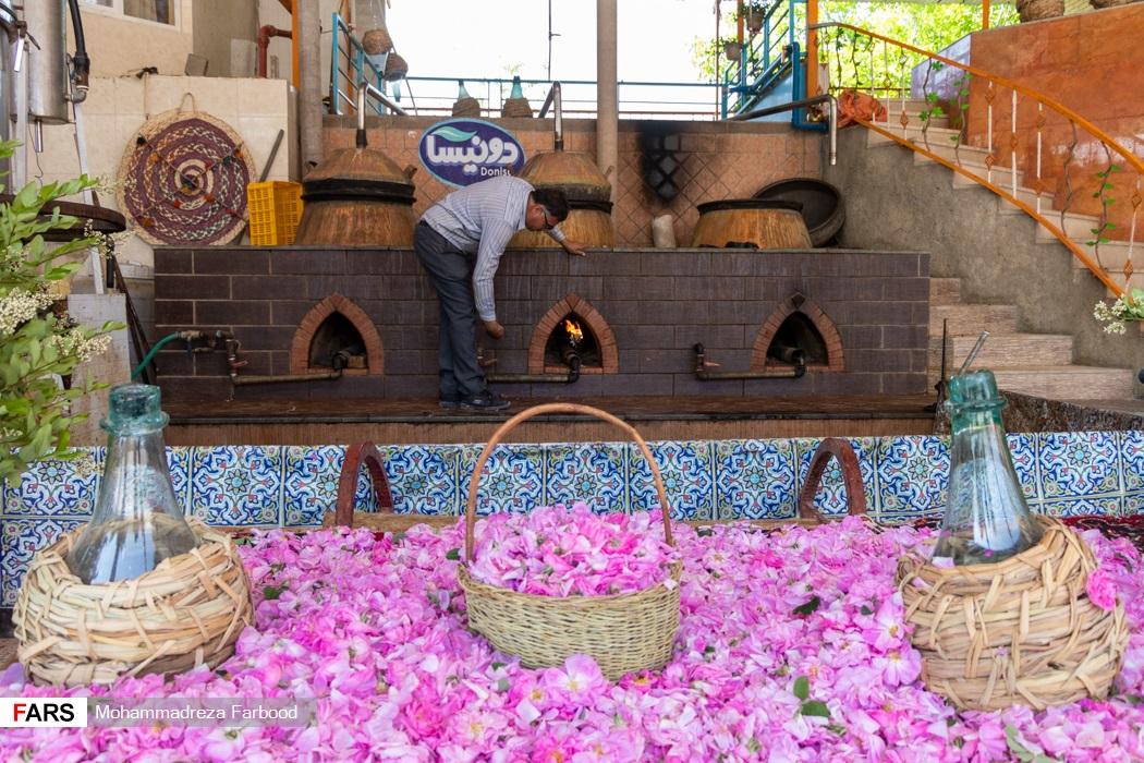 صاحب مزرعه گل محمدی در میمند فارس زیر دیگ را برای گلاب گیری روشن می کند.