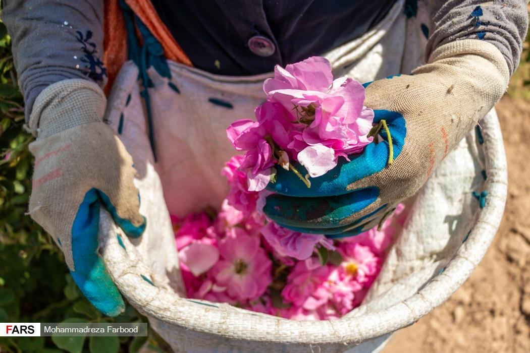 برداشت گل محمدی از گلستانهای میمند فارس