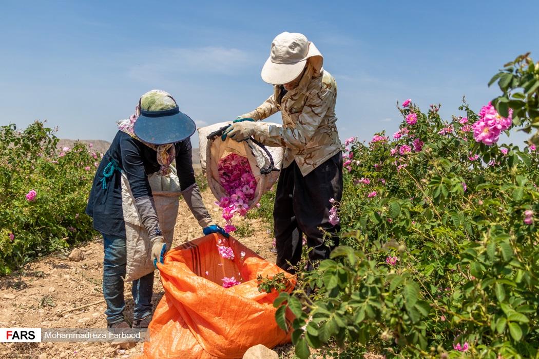 کارگران فصلی  گل های محمدی چیده شده را درون گونی بزرگتر خالی می کنند.