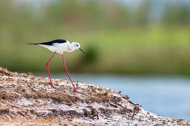 چوب پا یکی از گونه های پرندگان تالاب صالحیه