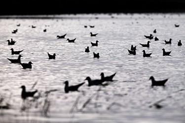 تالاب صالحیه در فصل بهار استراحتگاه حداقل 90 گونه از پرندگان مهاجر است