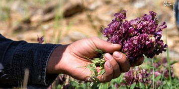کشت گیاهان دارویی فرصتی برای رونق اقتصادی در شهرضا