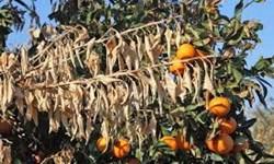 خسارت سرمازدگی به ۶۰ درصد از باغ مرکبات در گلستان/ عدم پشتیبانی بیمه محصولات کشاورزی در زمان پرداخت خسارت