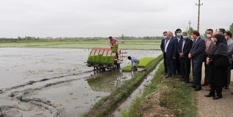 تولید 30 درصد برنج کشور در گیلان