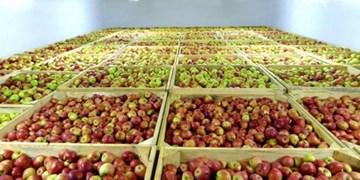 سیبهای انبارشده در سردخانههای خراسان شمالی در حال نابودی است