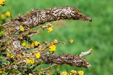مبارزه با آفت پروانه تخم انگشتری