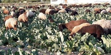 فیلم| دسترنج کشاورزان ورامینی خوراک گوسفندان شد/ جهاد کشاورزی کجاست؟