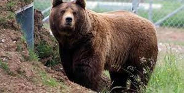 حمله خرس وحشی به ۲ نفر از عشایر کوهرنگی/ مصدومان به بیمارستان منتقل شدند