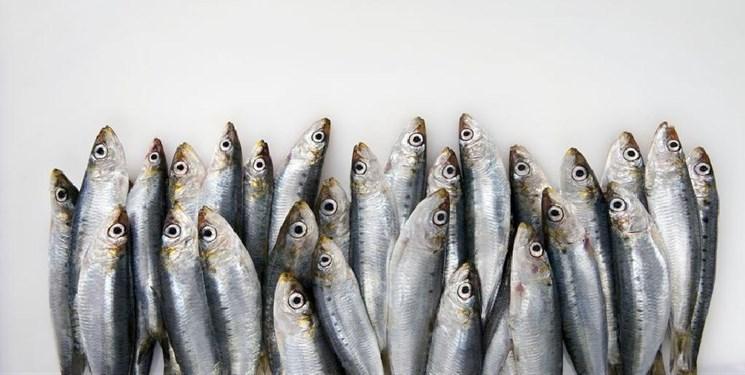 صید ماهیان ساردین در بوشهر ممنوع است