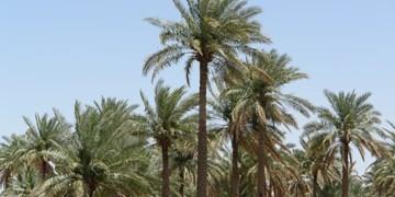 تاثیر بالای خشکی و کم آبی بر آفات و  بیماری نخیلات خوزستان