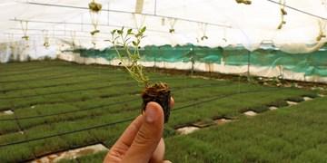 مزارع پایلوت و نشاء گیاهان دارویی
