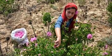 کیفیت گلهای محمدی تولید البرز از کاشان بالاتر است