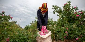 برداشت گل محمدی در آذربایجانغربی آغاز شد/ لزوم تجاری سازی و توسعه صنعت گیاهان دارویی