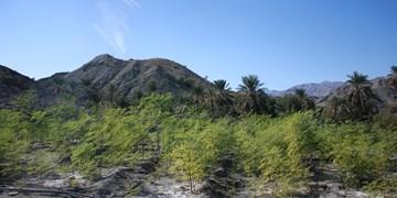 معجزه جهادیها در بشاگرد با «مورینگا»/ شما هم میتوانید در آبادی مزارع «فدک الزهرا(س)» سهیم باشید