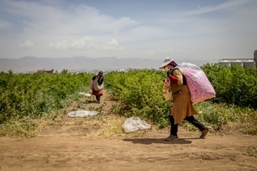 کارگر فصلی گل های محمدی چیده شده را از مزرعه ساوجبلاغ را برای وزن کشی میبرند.