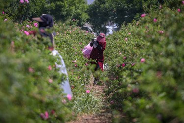 کارگر فصلی در مزرعه گل محمدی ساوجبلاغ به چیدن گل محمدی مشغول است.