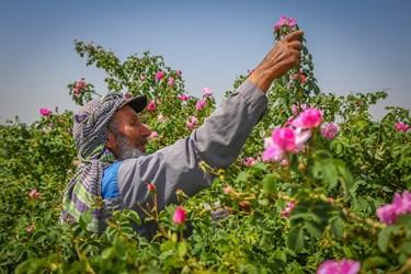برداشت گل محمدی - ساوجبلاغ