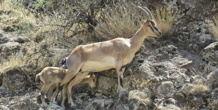 اولین بزغاله وحشی در منطقه الموت استان قزوین به دنیا آمد