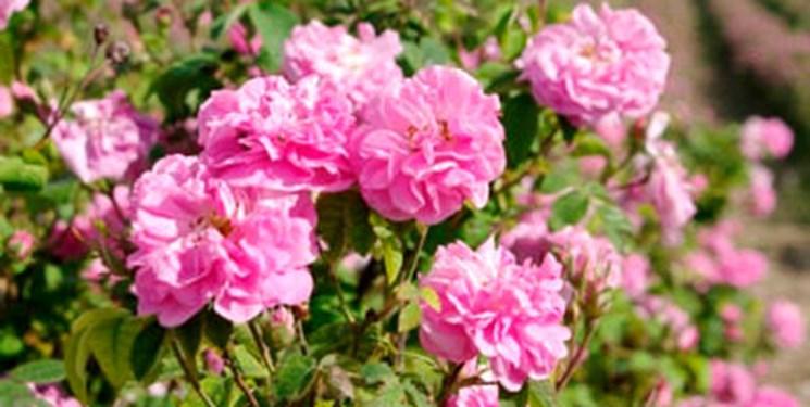 14000225000107 Test PhotoN - گلی با بوی ثروتآفرینی/ 30 نوع مربا از گل محمدی در آذربایجانغربی تهیه میشود