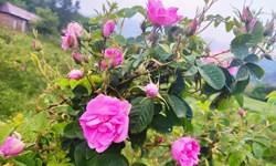 کشت گل محمدی در ۸۰ هکتار از اراضی شاهرود/ پیشبینی برداشت ۱۱۰ تن محصول