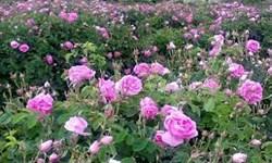 تولید ۴۵۰۰ تن گلمحمدی در آذربایجانشرقی / رتبه پنجم سطح زیرکشت باغات گلمحمدی در کشور