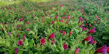 «گیاهان دارویی» فرصتی برای توسعه اقتصادی و رفع بیکاری در مازندران