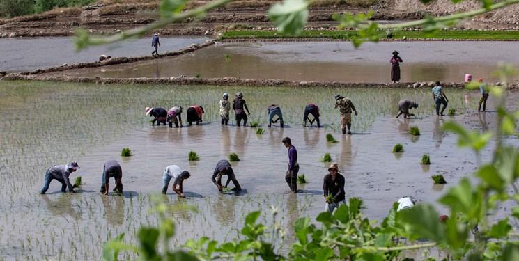 کشت وسیع برنج و بحران جدی کمبود آب/ روزهای سخت در انتظار شالیکاران کهگیلویه و بویراحمد
