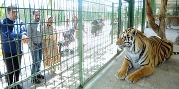 صادرات ببر بنگال، راهکار جدید «دولت محیط زیستی» برای ارزآوری!