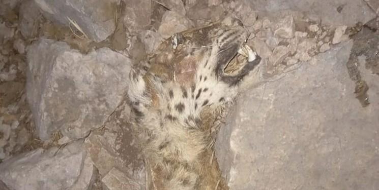 تصویری تلخ از آتشسوزی کوه حاتم/ پلنگی که قربانی تجارت زغال شد