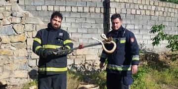 زندهگیری 35 حلقه مار در نقاط مختلف توسط آتش نشانان سنندجی