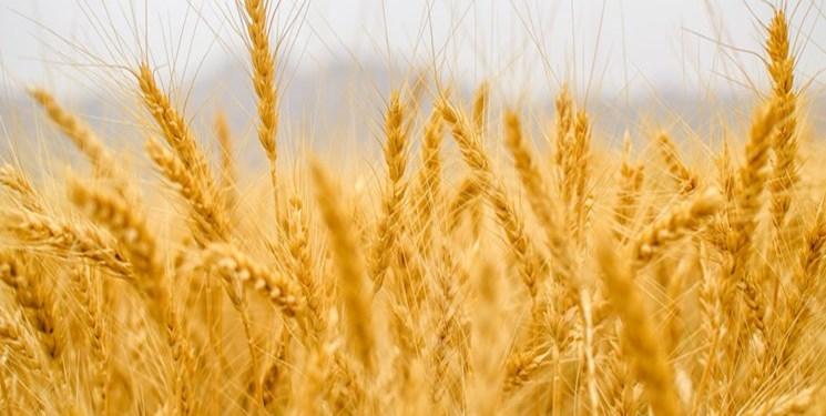 افزایش 6 دلاری قیمت  گندم در بازارهای جهانی/ کشورهای صادرات را محدود کرده اند