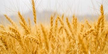 تولید ۱۵۰ هزارتن گندم در مازندران/ اختصاص ۲۸ هزار هکتار مزرعه به کشت کلزا