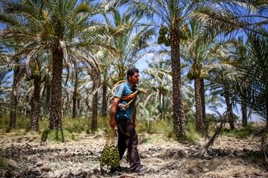 علی بعد از اتمام کار، میوه نارس را جمع آوری و خشک کرده تا غذای خوبی برای احشام باشد.