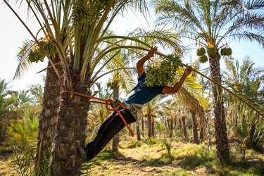 علی خوشه های نارس خرما را از وسط برگ ها بر روی ساقه خشک قسمت فرورفتگی که از قبل ایجاد کرده  میکشد.