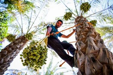 بریدن خوشه های اضافی سبز رنگ نارس خرما در سبک بار بودن  و بهتر به ثمر رسیدن خرما کمک می کند.